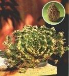 Róża jerychońska wieczna roślina